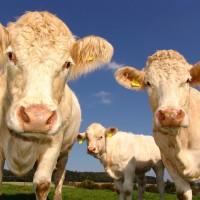 cows-1029077