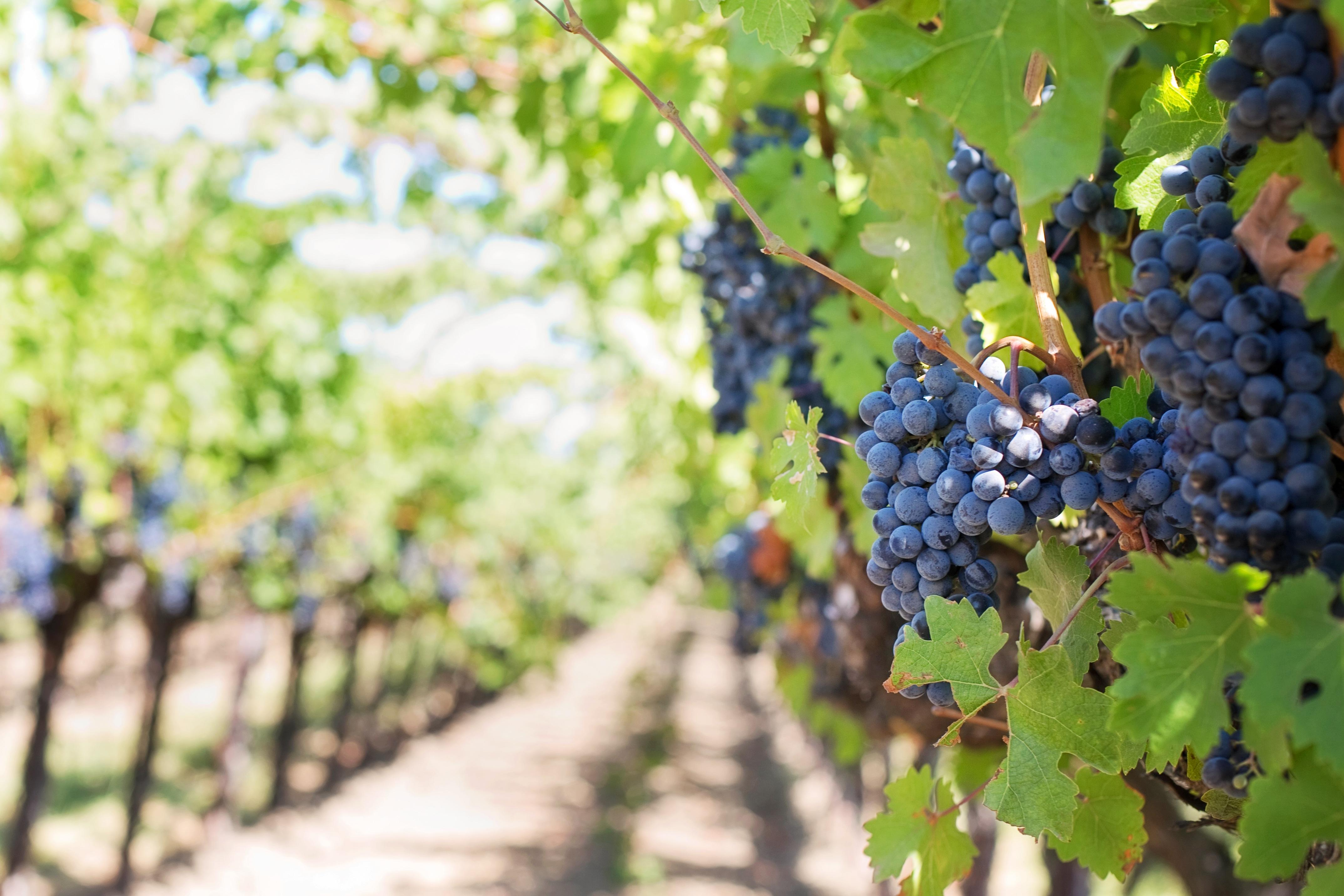Conséquence des zones de non-traitement sur la viticulture et l'agriculture alsacienne