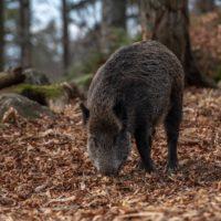 wild-boar-4656313_1920
